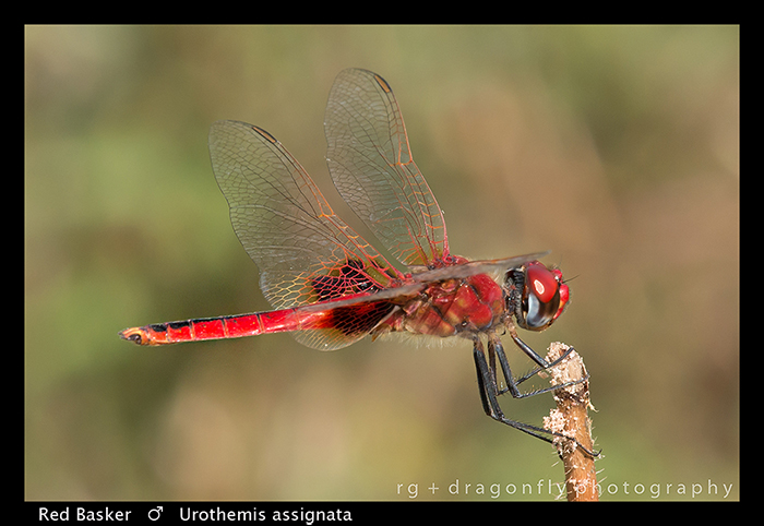 red-basker-m-urothemis-assignata-wp-8-6023