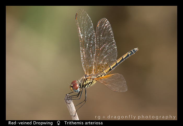 red-veined-dropwing-f-trithemis-arteriosa-wp-8-6221