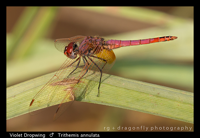 violet-dropwing-m-trithemis-annulata-wp-8-6137
