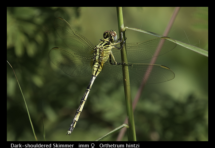 Dark-shouldered Skimmer (imm f) Orthetrum hintzi WP 8-5842