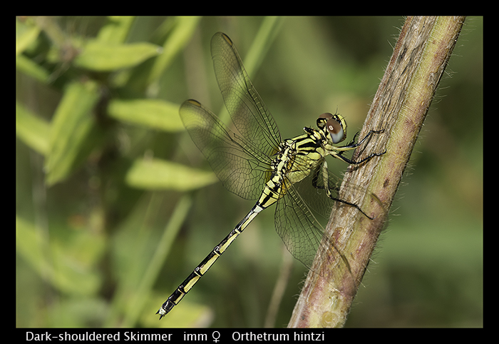 Dark-shouldered Skimmer (imm f) Orthetrum hintzi WP 8-5845