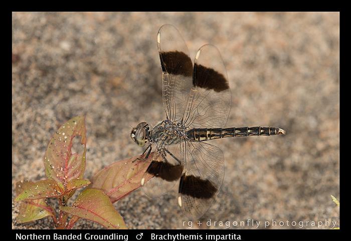 Northern Banded Groundling (m) Brachythemis impartita WP 8-5918