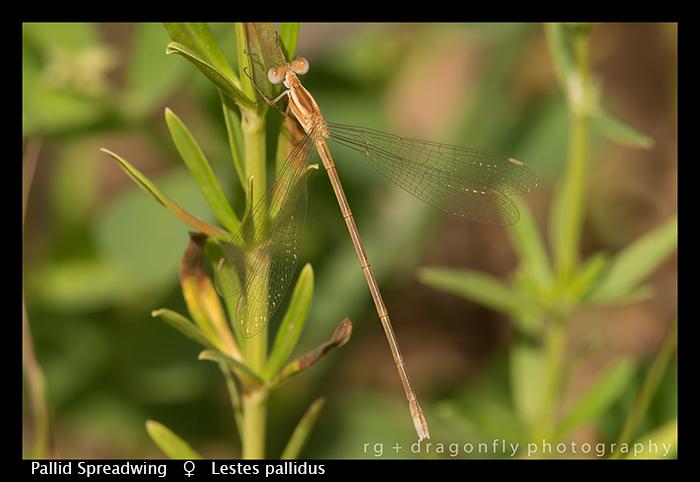 Pallid Spreadwing (f) Lestes pallidus WP 8-6100