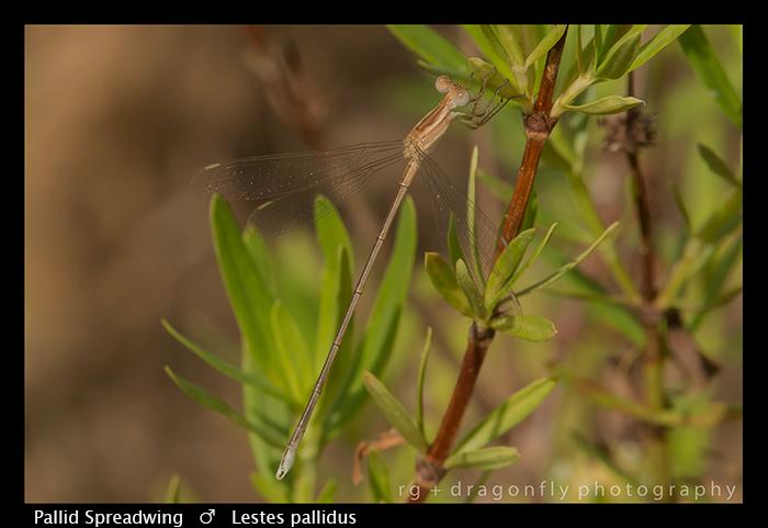 Pallid Spreadwing (f) Lestes pallidus WP 8-6108