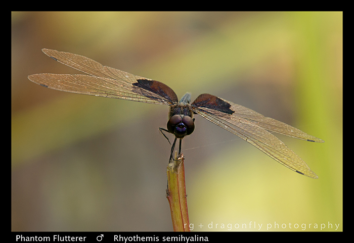 Rhyothemis semihyalina (m) Phantom Flutterer WP 8-5939