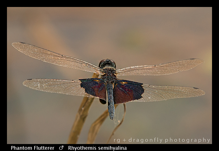 Rhyothemis semihyalina (m) Phantom Flutterer WP 8-5955