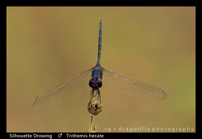 Trithemis hecate (m) Silhouette Dropwing WP 8-5984