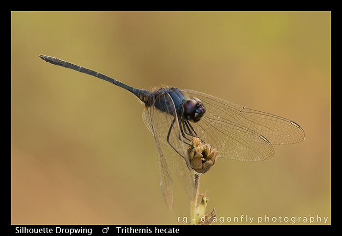 Trithemis hecate (m) Silhouette Dropwing WP 8-5994