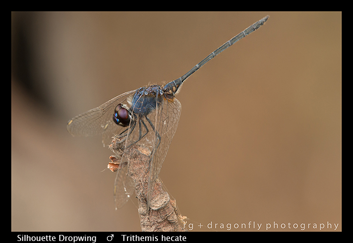Trithemis hecate (m) Silhouette Dropwing WP 8-5997