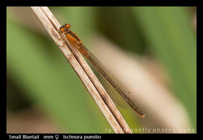 Small Bluetail - imm f - Ischnura pumilio WP 8-7746