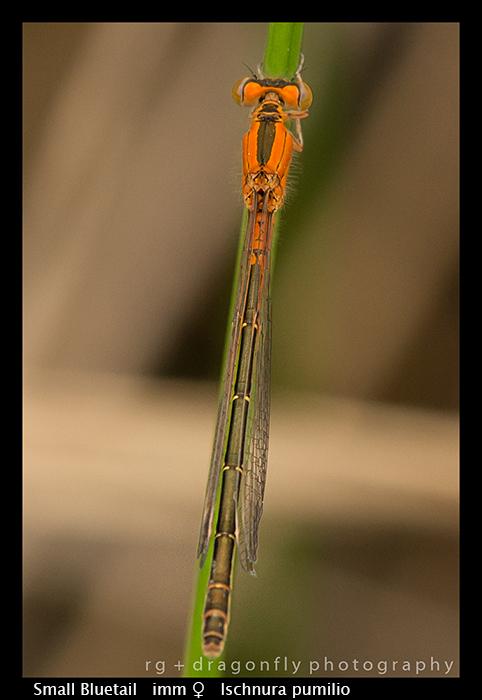 Small Bluetail - imm f - Ischnura pumilio WP 8-7756