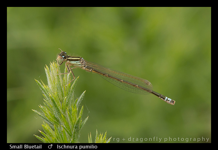 Small Bluetail - m - Ischnura pumilio WP 8-7765