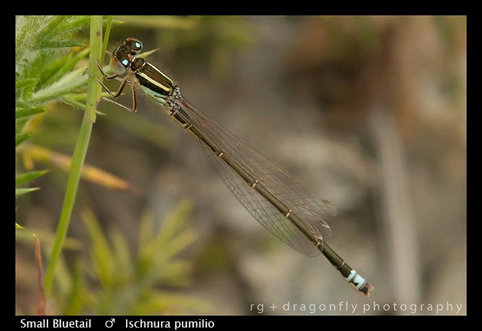 Small Bluetail - m - Ischnura pumilio WP 8-7778