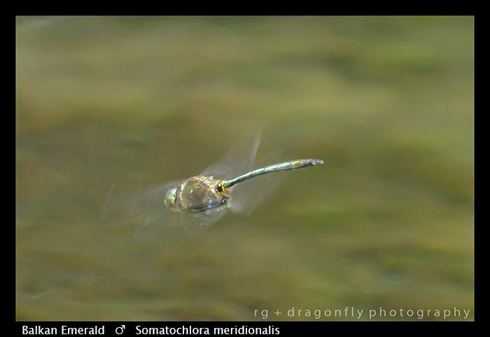 Balkan Emerald - (m) - Somatachlora meridionalis WP 8-3-8387