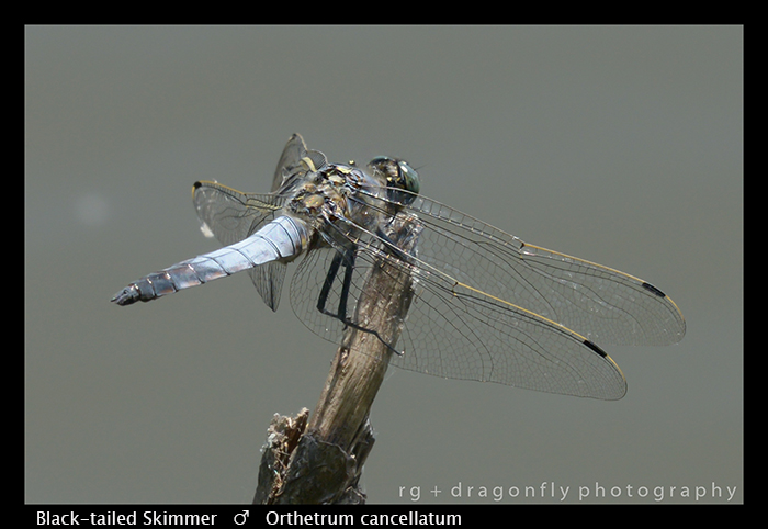 Black-tailed Skimmer (m) Orthetrum cancellatum WP 8-3-8468