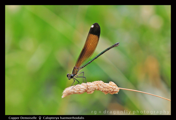Calopteryx haemorrhoidals (f) Copper Demoiselle 5156 CS5-1-700x479