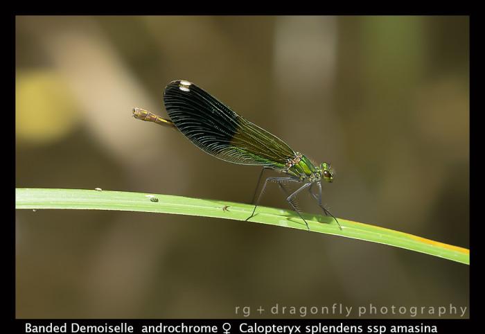 Calopteryx splendens (andromorph f) Banded Demoiselle 8 -0148 -1-700x482