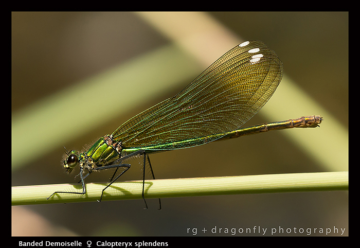 Calopteryx splendens (f) Banded Demoiselle 8-1763 WP