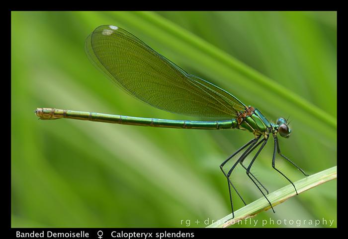 Calopteryx splendens (f) Banded Demoiselle WP 8-3-8335