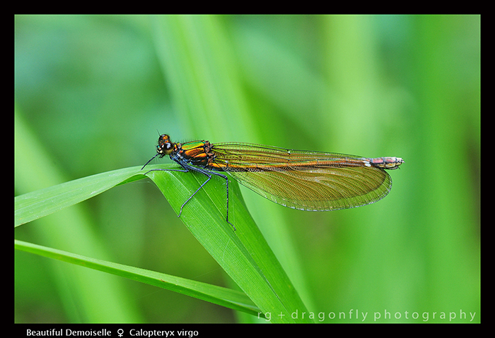 Calopteryx virgo (f) Beautiful Demoiselle D 4449 WP