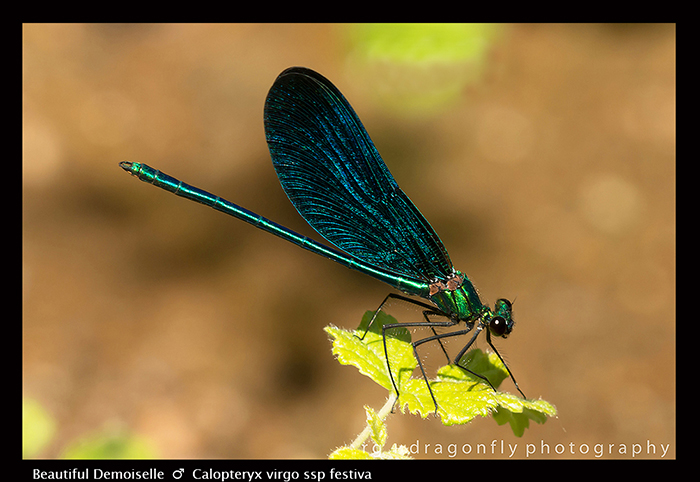 Calopteryx virgo (m) Beautiful Demoiselle 8-1867 WP