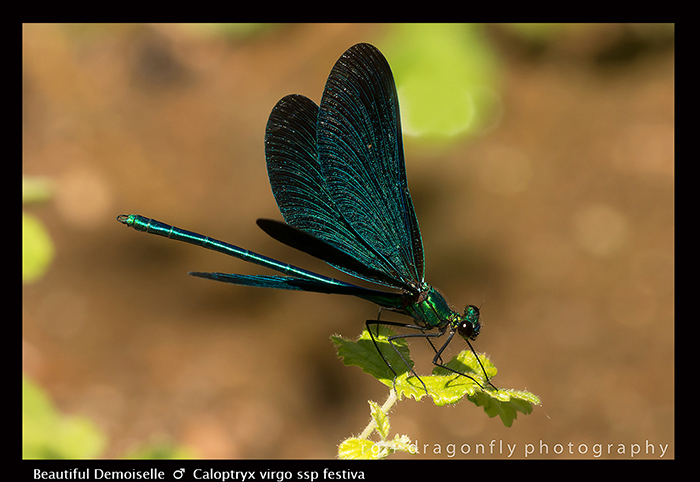 Calopteryx virgo (m) Beautiful Demoiselle 8-1869 WP