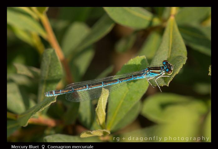 Coenagrion mercuriale (m) Mercury Bluet 8-0610-700x481