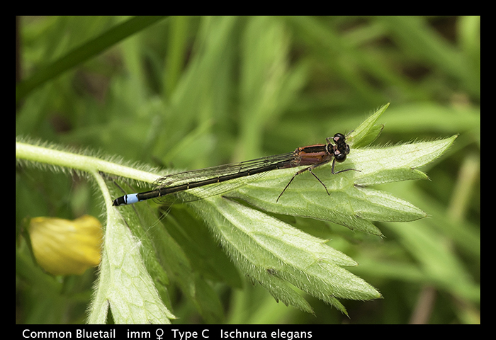Common Bluetail - imm f Type C - Ischnura elegans WP T 3-6994