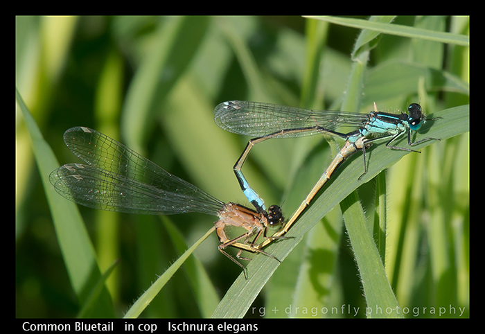 Common Bluetail (in cop) Ischnura elegans WP 8-7834