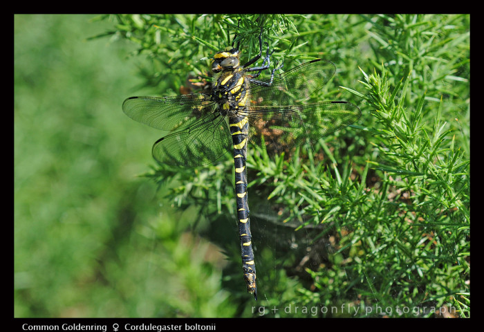 Cordulegaster boltonii (f) Common Goldenring D 4497 A CS5 -1-700x480