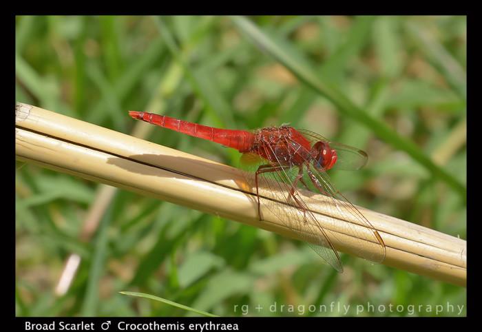 Crocothemis erythraea (m) Broad Scarlet 8-0367 -1-2-700x482