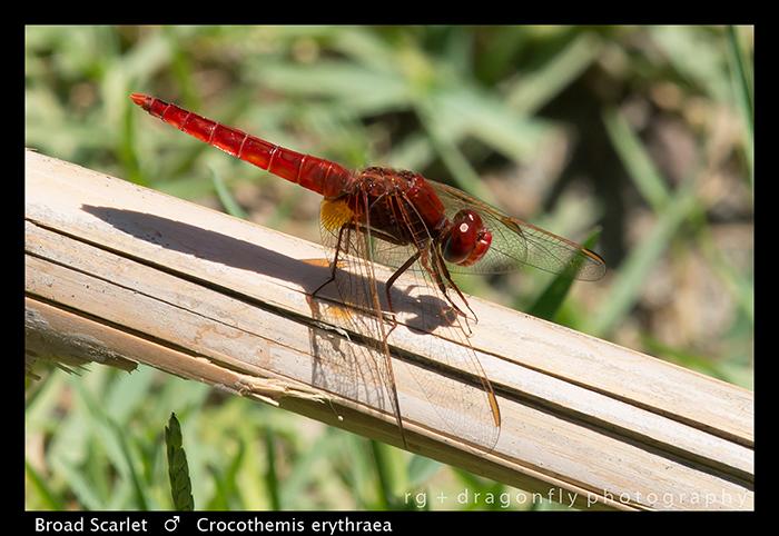 Crocothemis erythraea (m) Broad Scarlet WP 8-3-8069