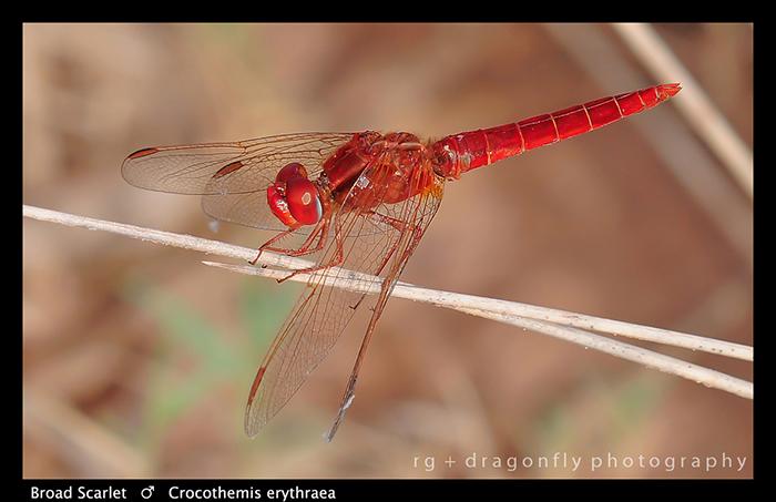 Crocothemis erythraea (m) Broad Scarlet WP