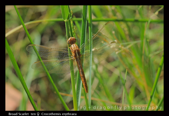 Crocothemis erythraea (ten f) Broad Scarlet D 2501 CS5-1-700x481