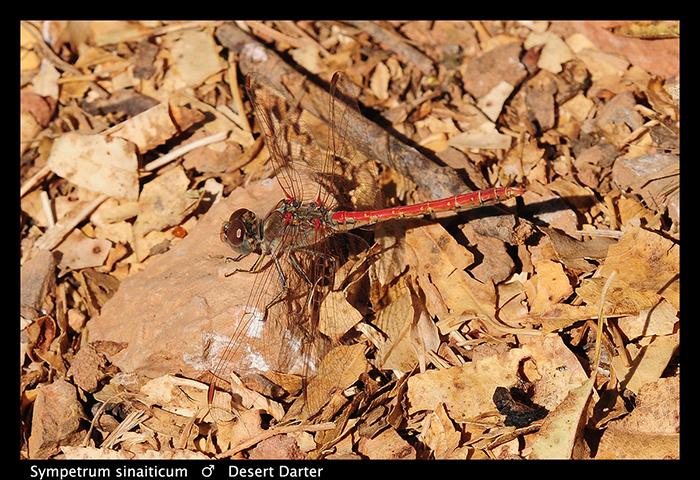 Desert Darter (m) Sympetrum sinaiticum WP