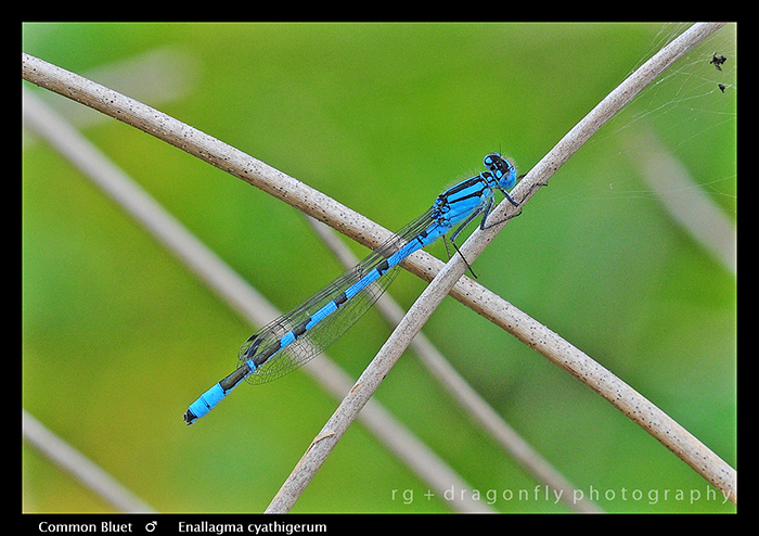 Enallagma cyathigerum (m) Common Bluet WP