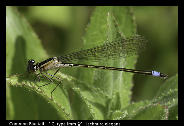Ischnura elegans Common Bluetail WP 8-7549