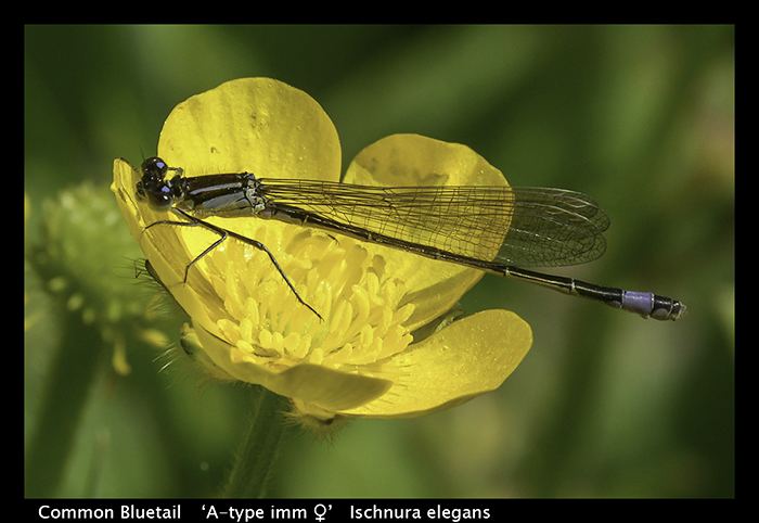 Ischnura elegans Common Bluetail WP 8-7556