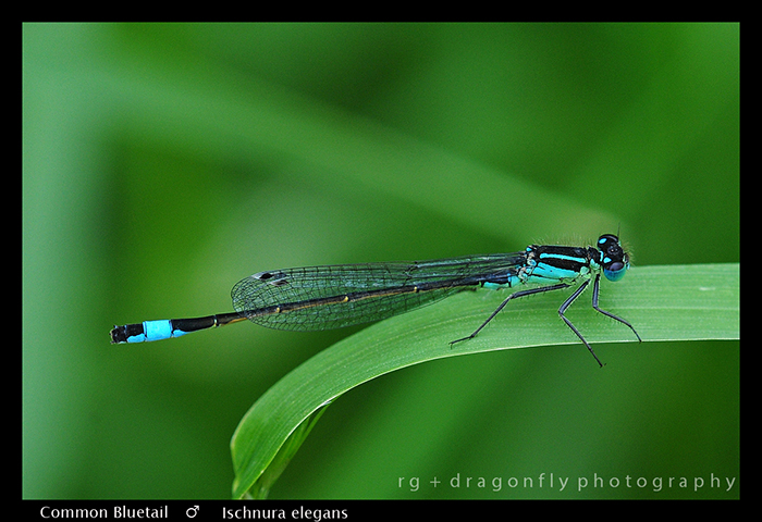 Ischnura elegans - Common Bluetail (m) WP (2)