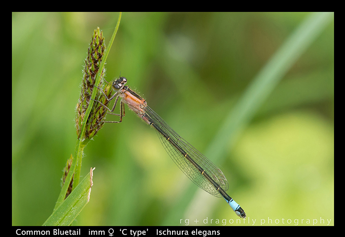 Ischnura elegans (f) Common Bluet WP 8-7722