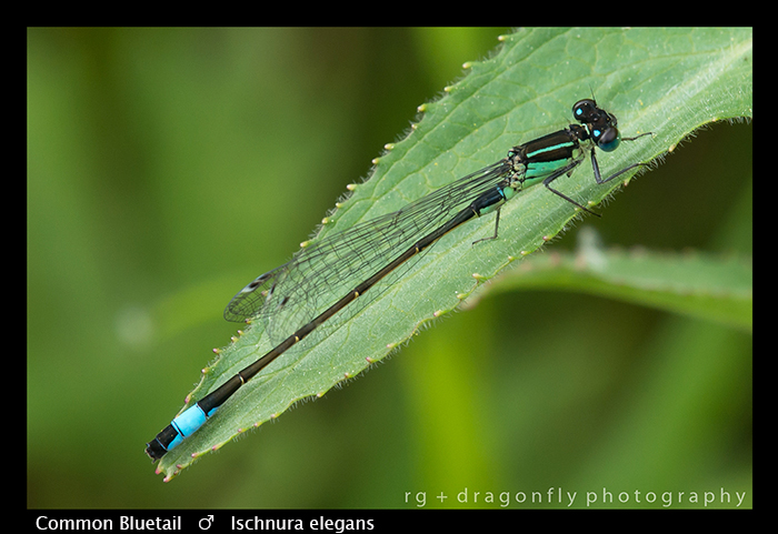 Ischnura elegans (m) Common Bluet WP 8-7713