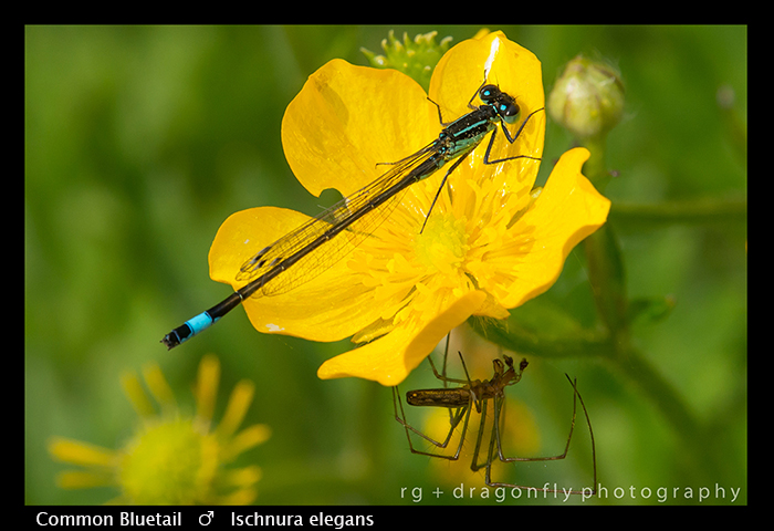 Ischnura elegans (m) Common Bluet WP 8-7717