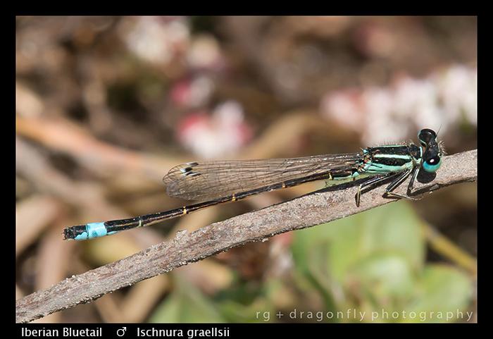 Ischnura graellsii (m) Iberian Bluetail WP 8-3-7983