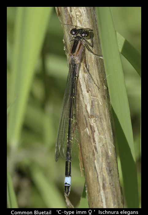 Ishnura elegans Common Bluetail WP 8-7565