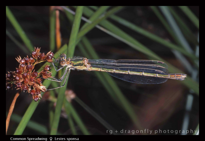 Lestes sponsa (f) Common Spreadwing S 552 CS5 P9-1 A-700x480