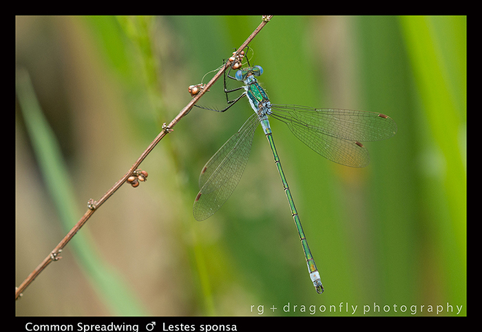 Lestes sponsa (m) Common Spreadwing 8-0748 WP
