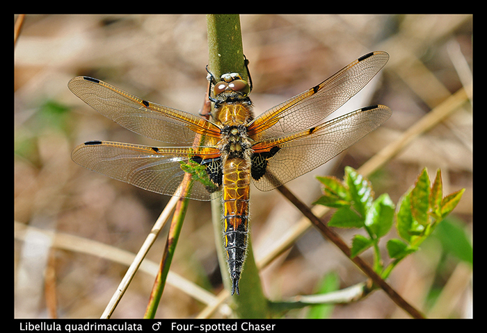 Libellula quadrimaculta ( m) Four spotted chaser WP