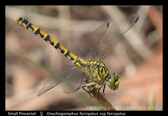 Onychogomphus forcipatus ssp forcipatus (f) Small Pincertail WP 8-3-8670
