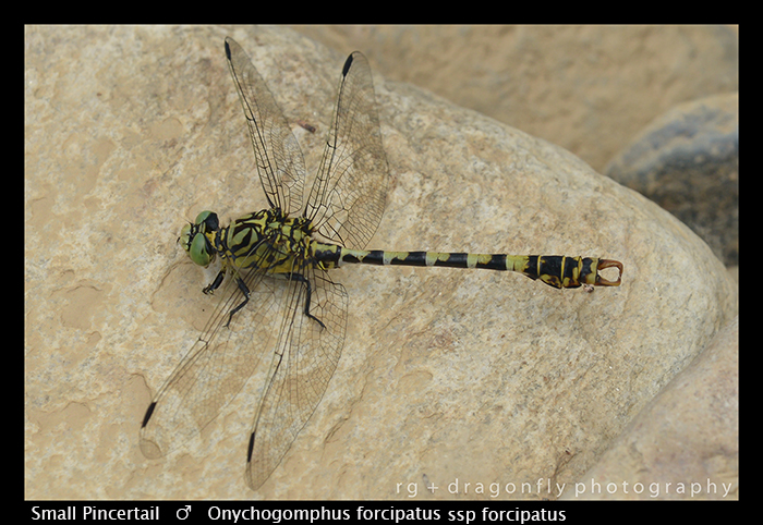 Onychogomphus forcipatus ssp forcipatus (m) Small Pincertail WP 8-3-8359