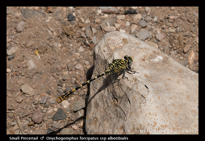 Onychogomphus forcipatus ssp unguiculatus (m) Small Pincertail 8-1596 WP